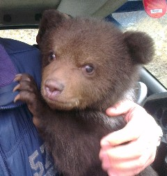 A young bear